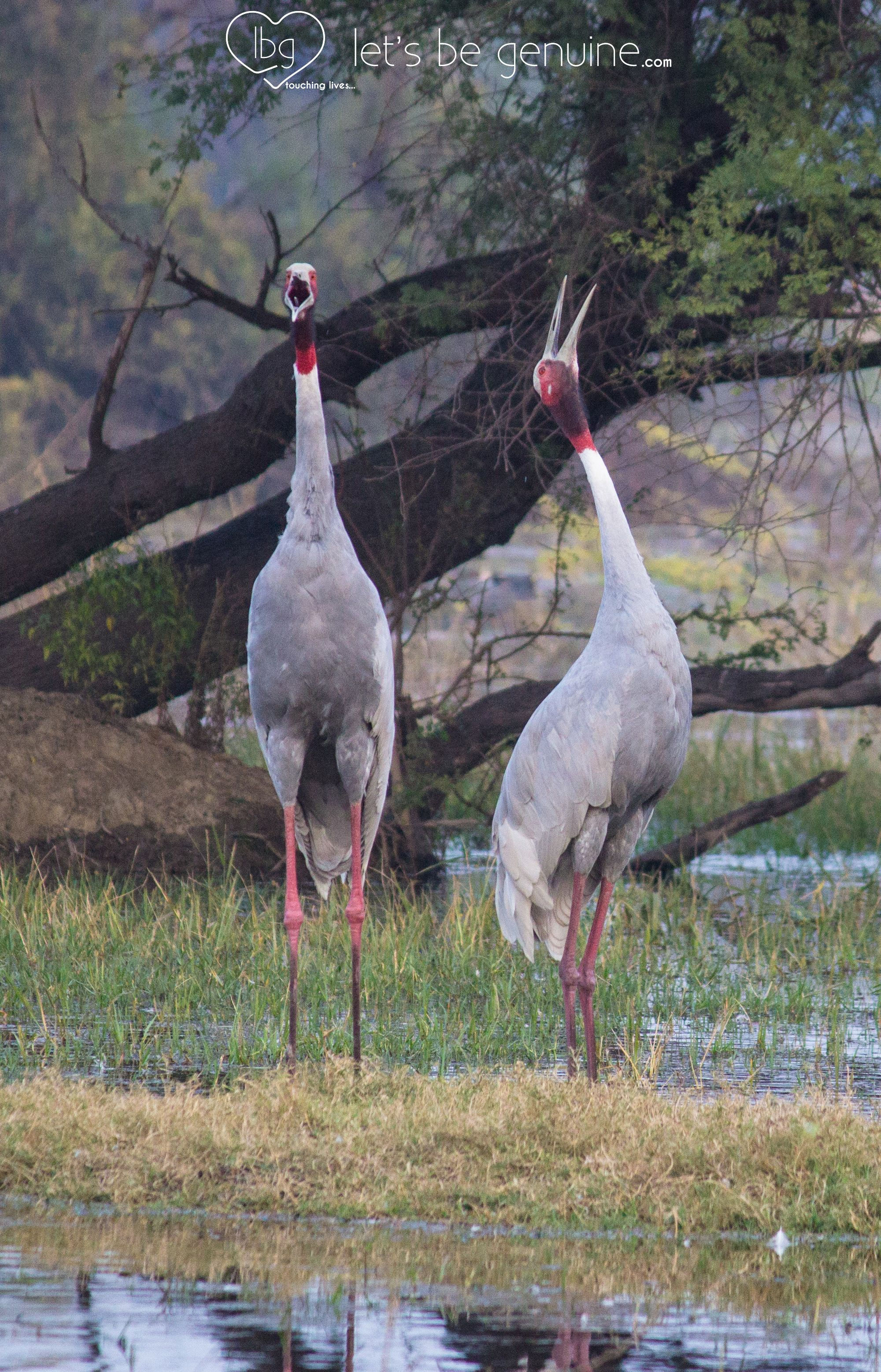 The Great Indian Sarus Cranes Who Are Always Found In Pairs Once They Start Breeding Also A Good Luck Charm Bharatpur Bird Sanct Birds