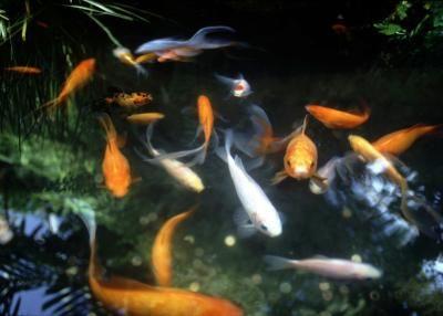 C mo limpiar el agua de un estanque de peces estanque for Filtros de agua para estanques de peces