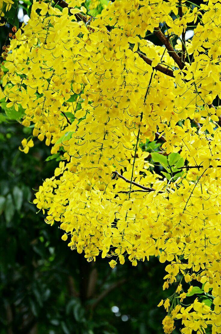 Pin by Sruthi Baiju on Kerala Wisteria tree, Colorful