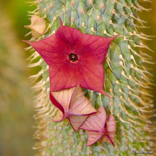 Hoodia Gordonii Flower Buds Flickr Photo Sharing Hoodia