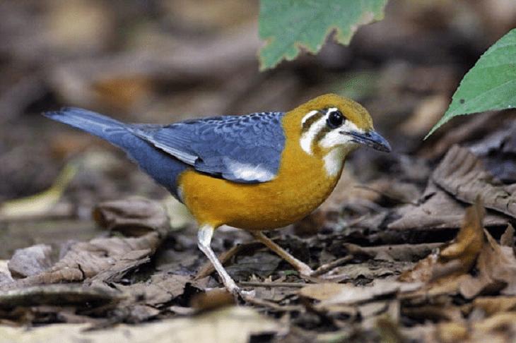 Ud Jalak Suren Klaten Jalak Burung Bali