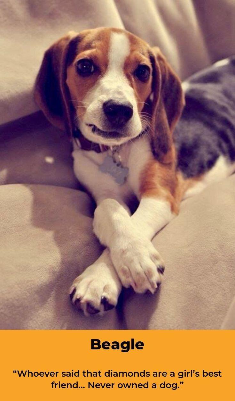 Beagle Puppy Beaglegram Beagles Names Beagle Beagle Names