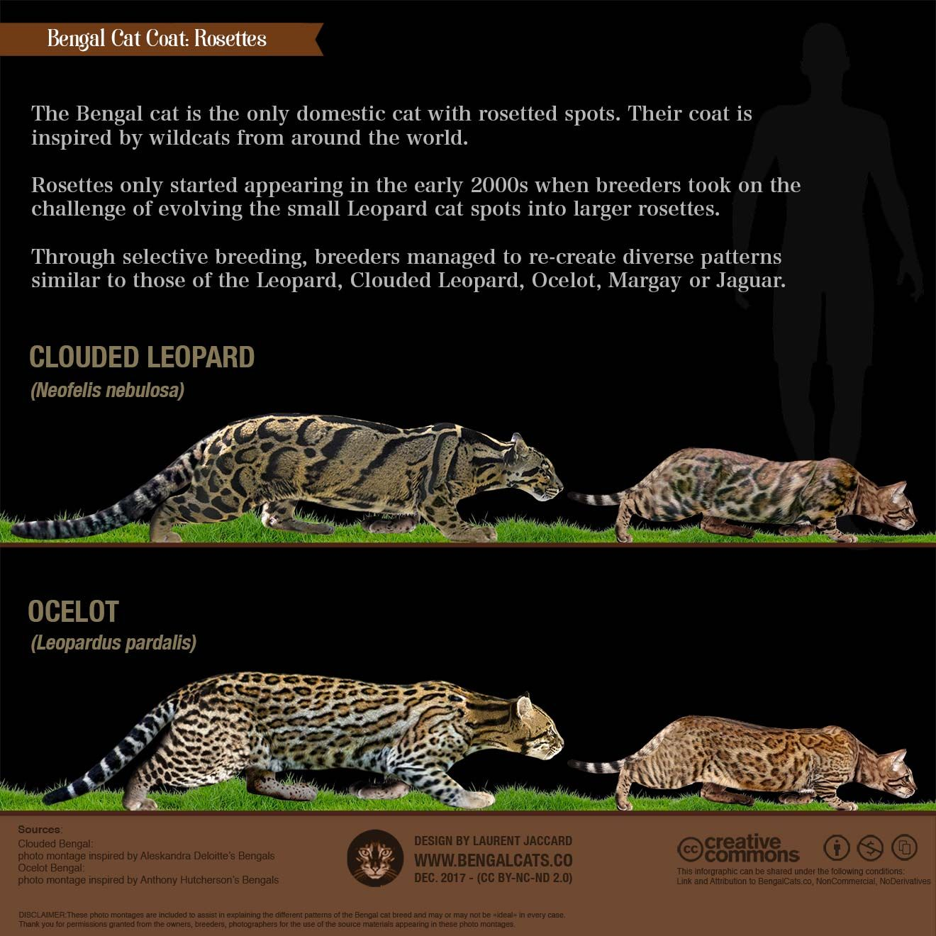 A Visual Guide To Bengal Cat Colors Patterns Bengal Cat Cat Colors Bengal
