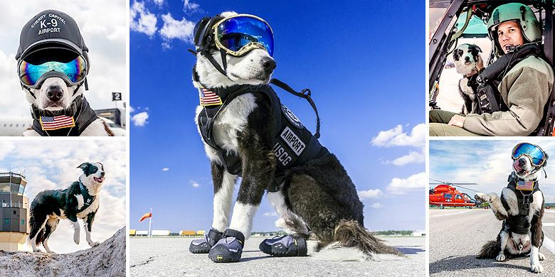 Piper The Adorable Airport Watchdog Looks Super Cool Chasing Away Birds In His Ski Goggles Working Dogs Guard Dogs Adorable
