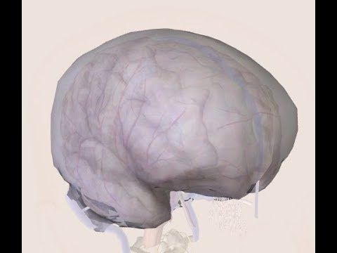 Brain Anatomy and Physiology : Dura Mater | Meninges Dura Mater ...