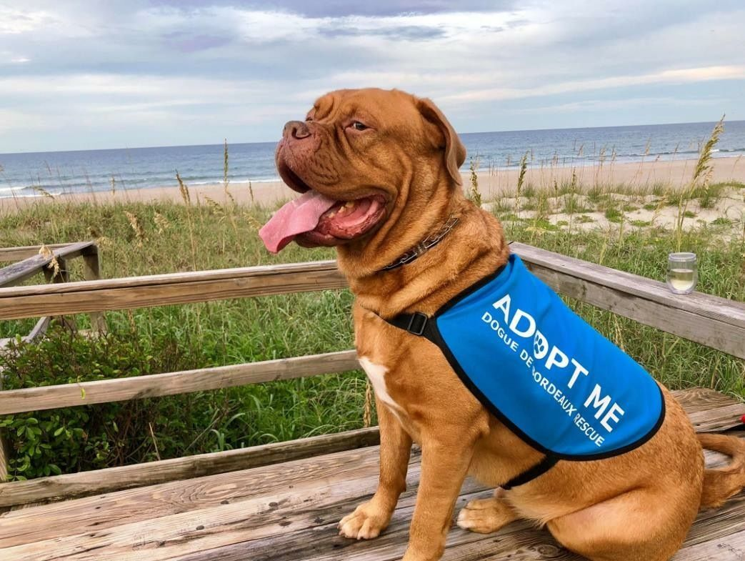 Adopt Draco in FL on Dogue de bordeaux, De bordeaux, Draco