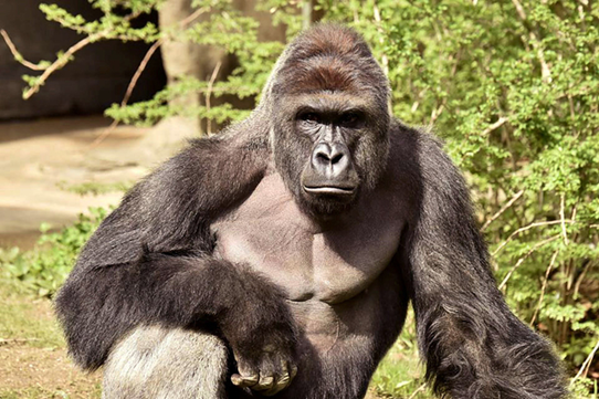 Gorilla And Zookeeper Happypins Harambe Gorilla Harambe Cincinnati Zoo