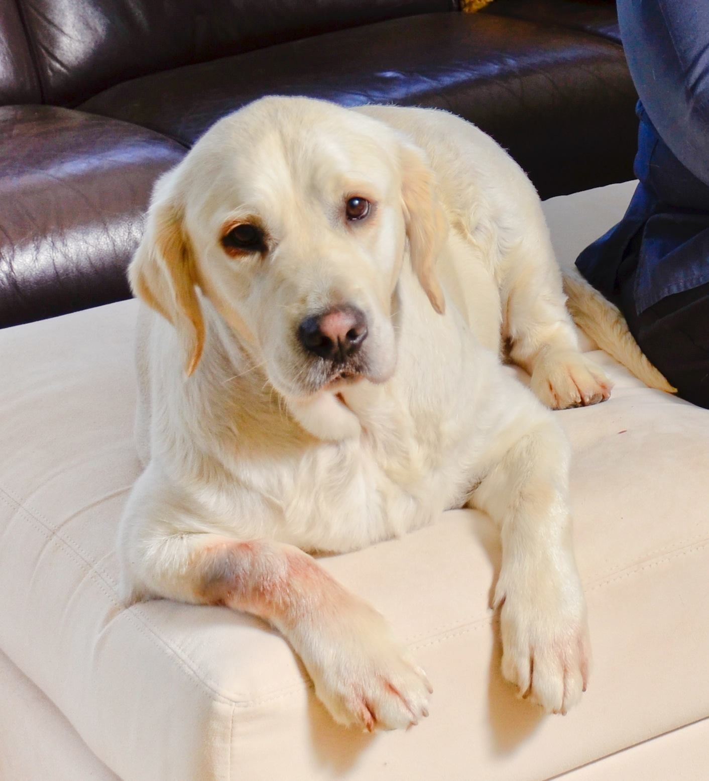 Canine herbal therapy - Turmeric For Dogs Atopic Dermatitis Treatment For Olivia The Golden Retriever
