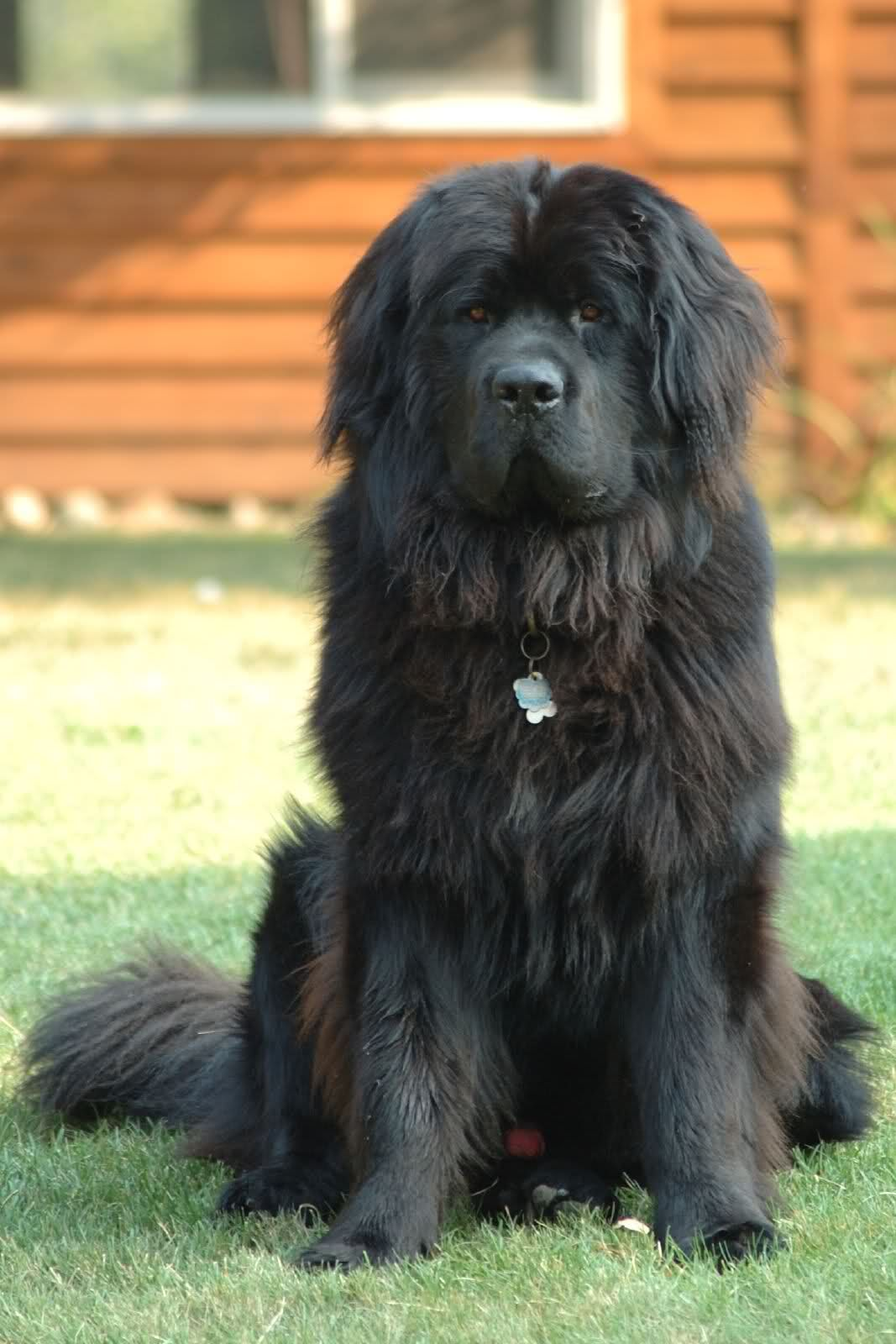 Best Big Dogs >> I Want One So Bad Best Big Dog Breeds Best Big Dogs Big