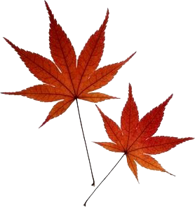 Japanese Maple Google Image Result For Http Www Leagueoftheleaf Com Japmaple Png Maple Leaf Tattoos Japanese Tattoo Symbols Maple Tree Tattoos