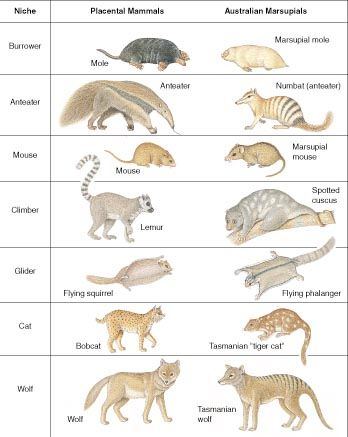 Different Types of Marsupials | Marsupials and Placentals: a case of ...