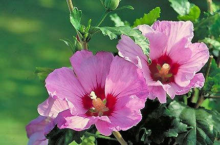 Minerva Rose Of Sharon Is A Densely Branched Upright Shrub With