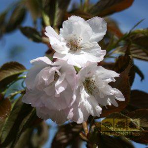 Prunus Chocolate Ice Japanese Flowering Cherry Tree Flowering Cherry Tree Trees To Plant Cherry Tree