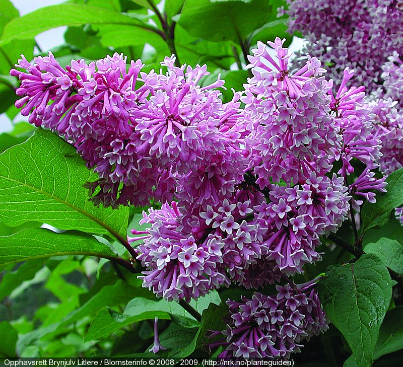 Prestonsyrin Royalty Syringa X Prestoniae Royalty Vekst Denne Planten Har Vanlig Opprett Buskform Hoyden Er Ca 3 4 M Det Er En Kr Syrin Planter Blader