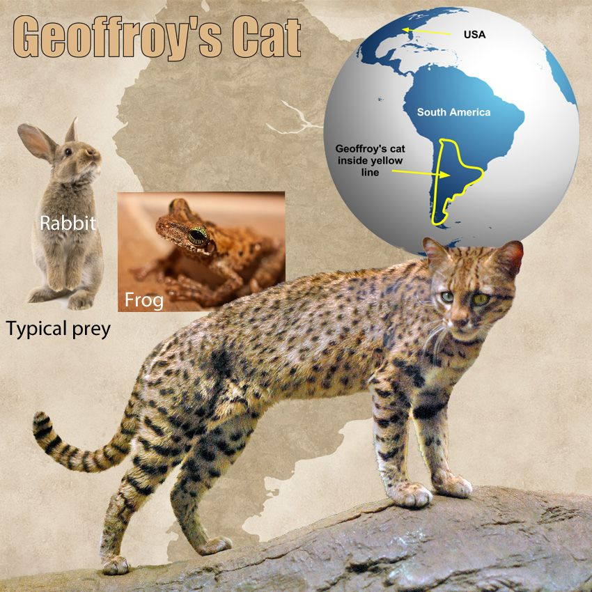 Geoffroy's Cat Facts For Kids Cat facts, Types of wild