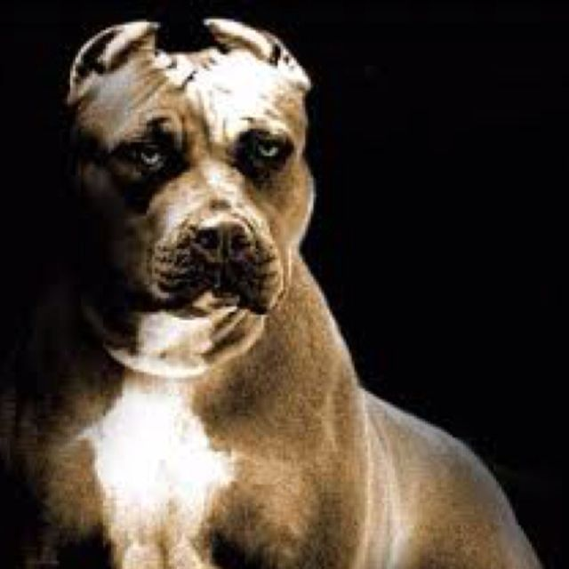 Strong,bold ,brave that's what I love about this breed please adopt a pitbull they are such sweethearts