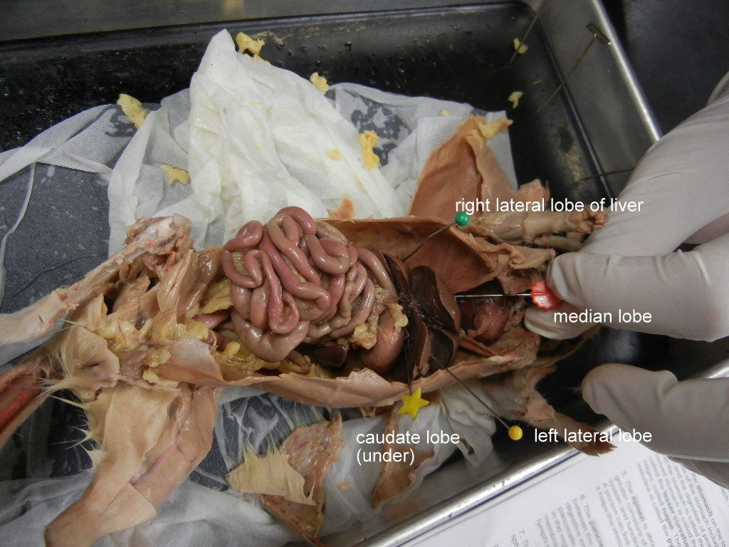 Photo In Rat Dissection