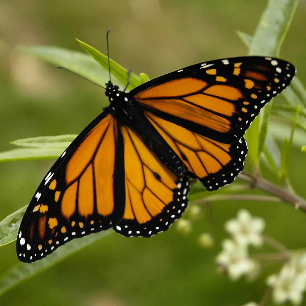 images of butterflies flying - photo #8