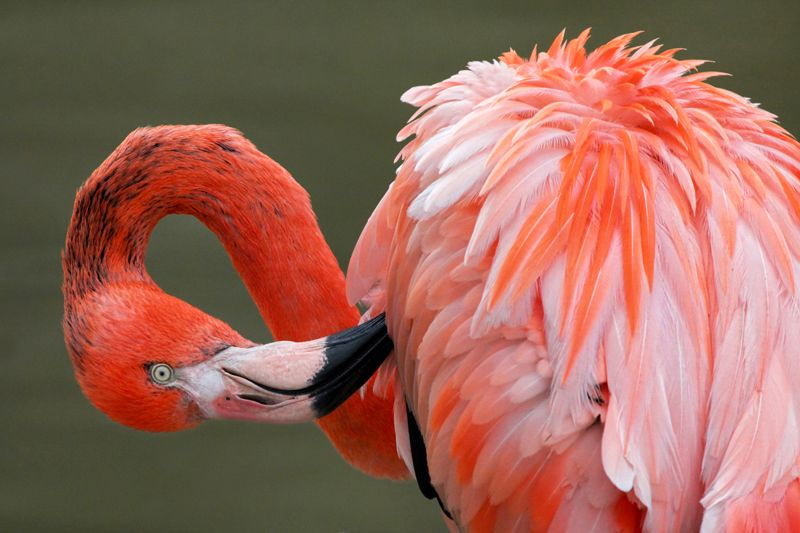 Flamingo preening its feathers - inspirewithnature.com