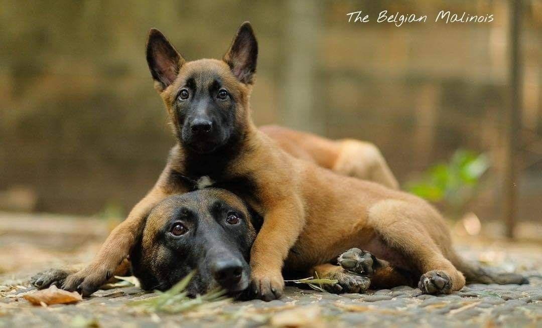 Pin By Taylor Sues On Honden Belgium Malinois Malinois Dog Belgian Malinois
