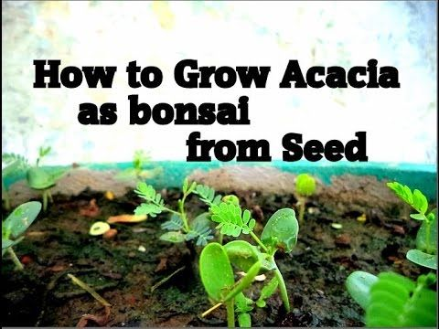 How To Grow Acacia As Bonsai From Seed Bonsai Bonsai Care Bonsai Seeds