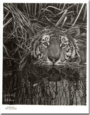 Big Cat 5 - Graphite pencil limited edition wildlife art by Richard Brown
