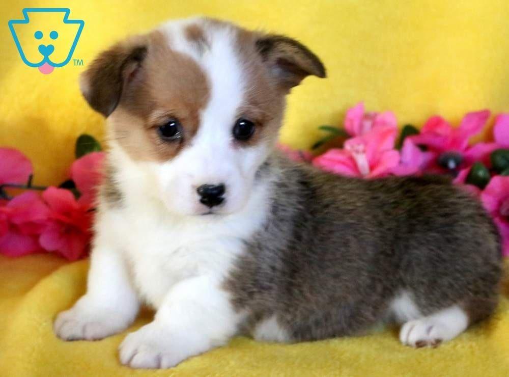 Star Welsh Corgi Puppies Corgi Puppies For Sale Pembroke Welsh