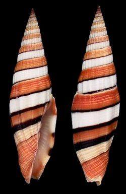 Vexillum (Vexillum) taeniatum  (Lamarck, J.B.P.A. de, 1811)  Ribboned/Taylor's Mitre  Shell size  38 - 91 mm  W Pacific