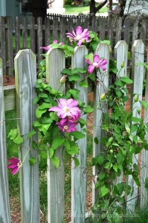 When you put clematis and an old picket fence I will stop and look every time.