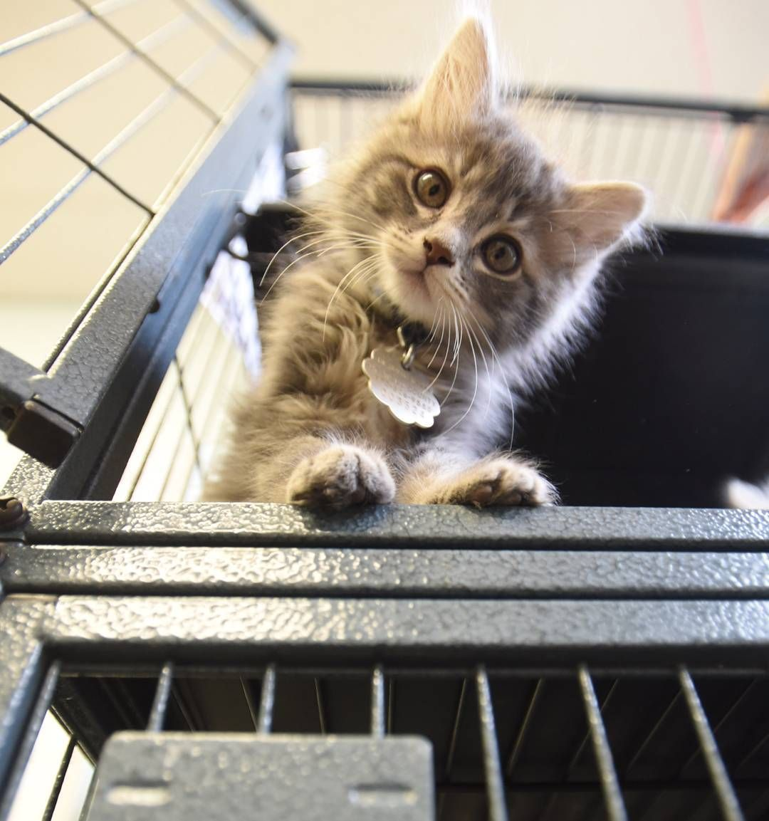 A kitten curiously investigates the camera on Tuesday at the Humane Society of Weld County ...