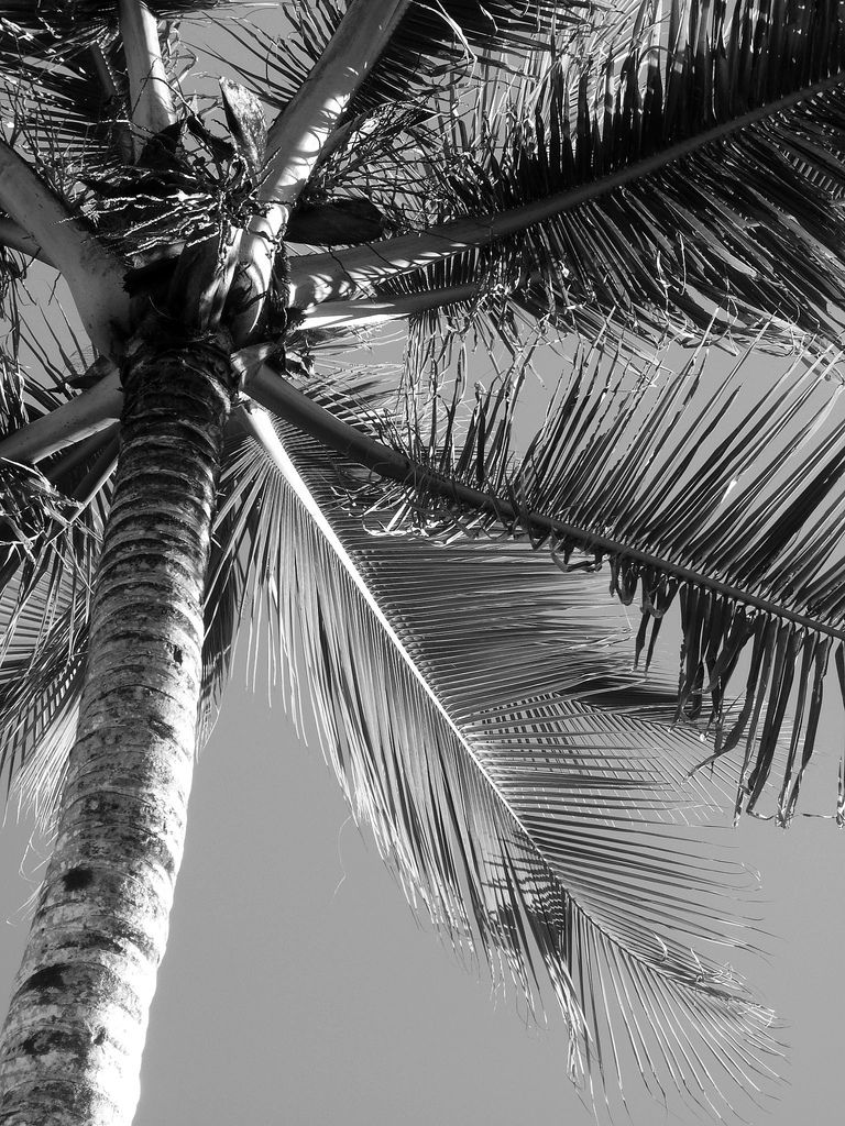 Palm Tree in Black & White Black, white beach, Tree