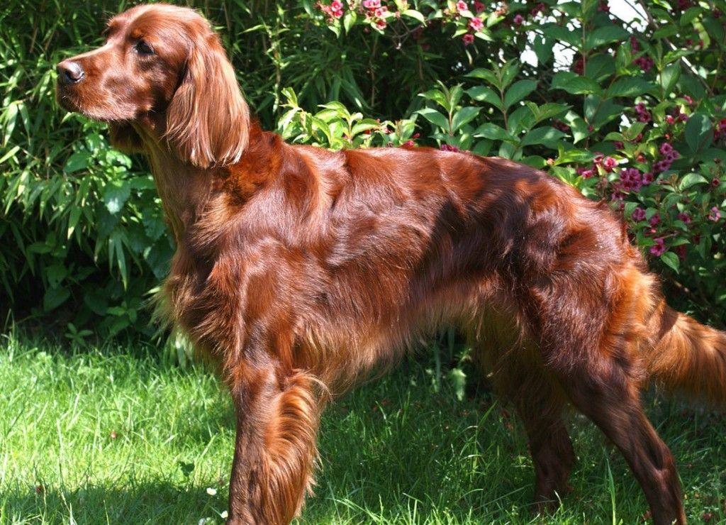 irish setter dog photo--This beautiful dog reminds me of my childhood friend, Lady.