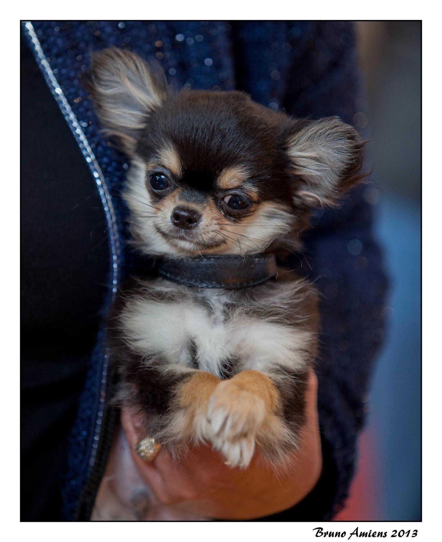 Chihuahua Pupp Chihuahua Puppy Chihuahua Puppies Chihuahua Dogs Cute Chihuahua