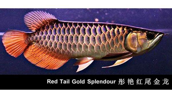 Welcome To Premiumarowana Com Buy Amp Import Arowana Fish Save On Arowana Fish 2 Day Shipping Buy Arowana Fish Online Fish Oscar Fish Dragon Fish