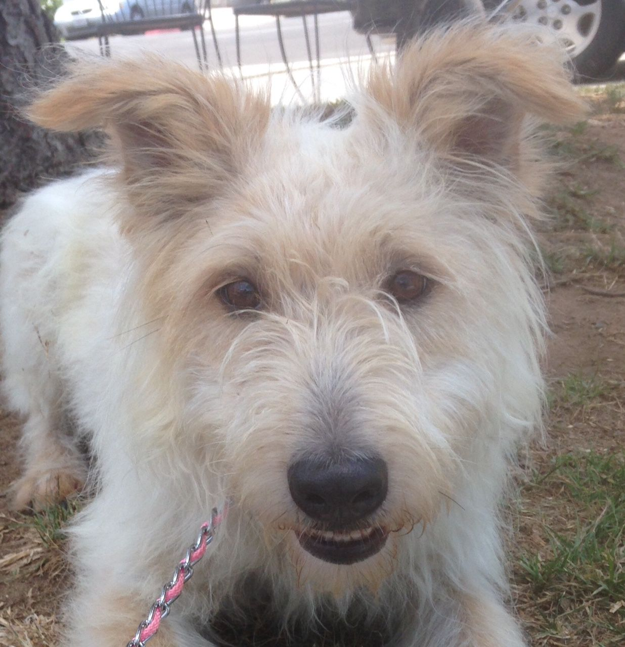 Cairn Terrier Dog For Adoption In Newport Beach Ca Adn 582707 On
