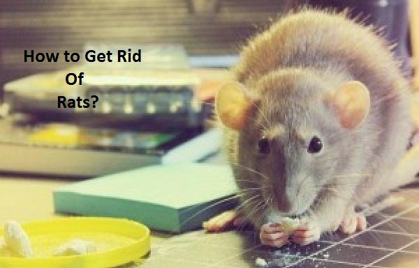 How To Get Rid Of Rats Fast Rat Infestation Rats And