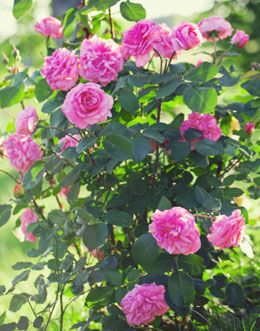 A homemade organic fertilizer is always preferable to commercial ones. Read on for some information about homemade organic fertilizers for roses.