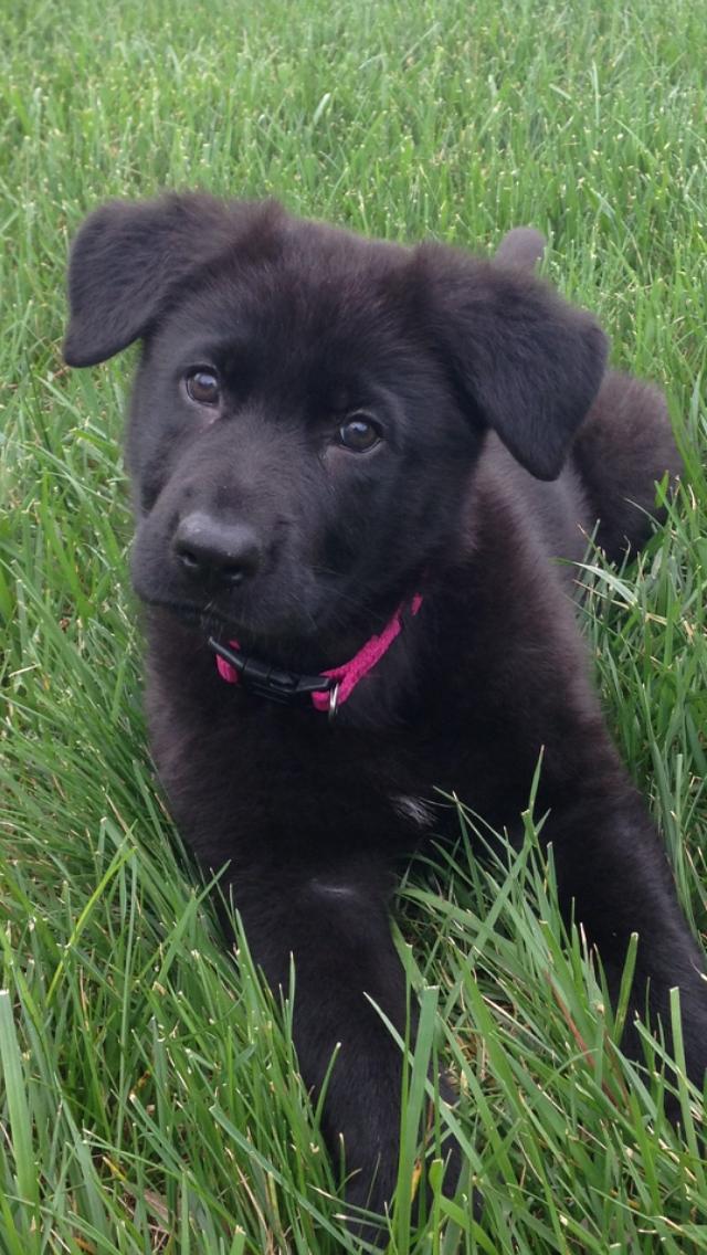 Our New Black German Shepherd Puppy 10 Weeks Old German Shepherd