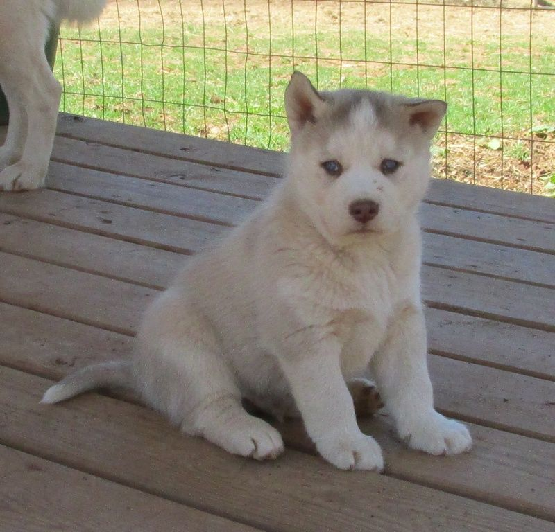 This Is My Pure Bread Husky Named Yukon Hes So Sweet I Love Dogs