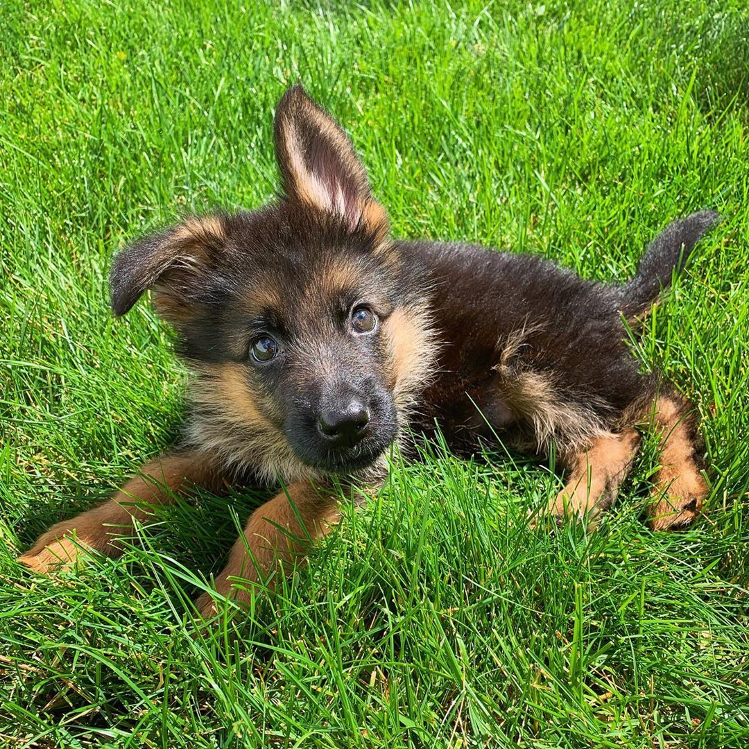Gsd puppy scary dogs baby german shepherds