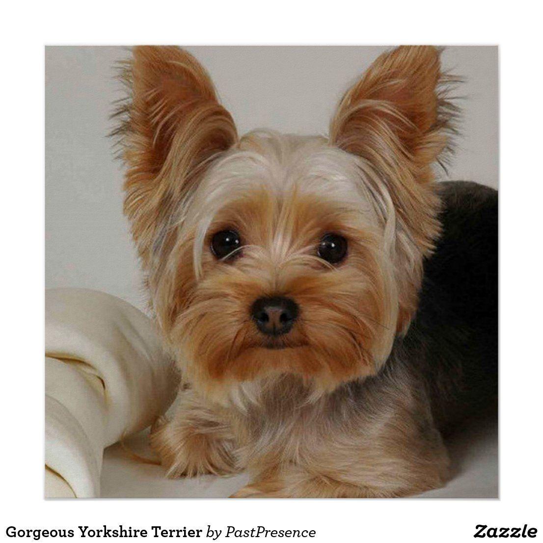Gorgeous Yorkshire Terrier Poster Zazzle Com In 2020 Yorkshire Terrier Puppies Yorkshire Terrier Dog Terrier Dogs