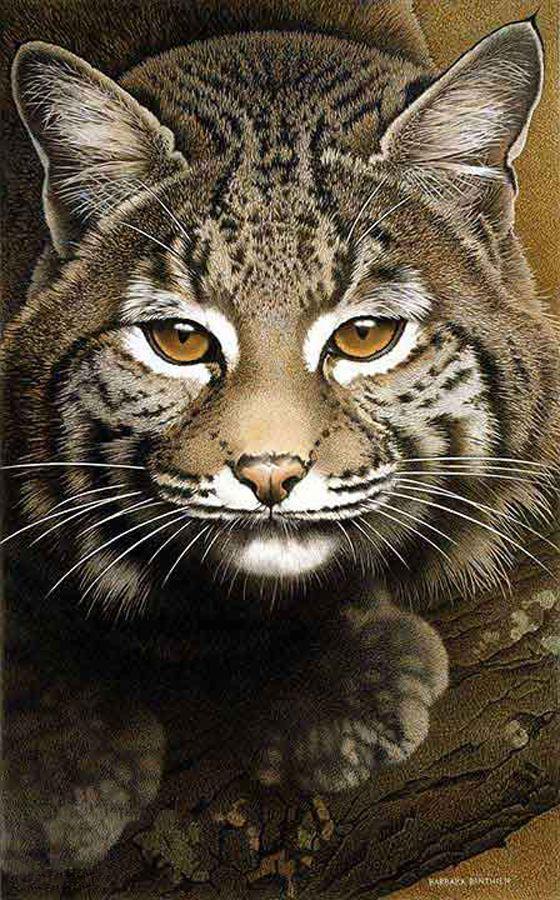 Barbara Banthien Bobcat Cats, kittens, Funny animal