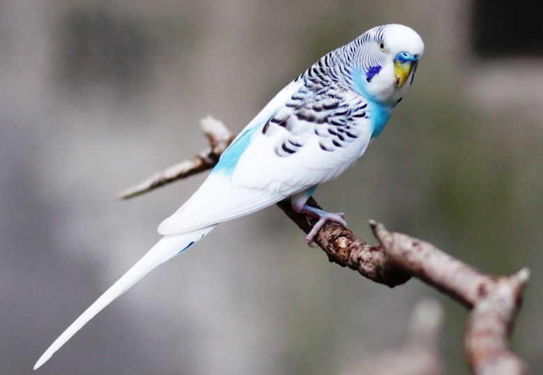 Burung Parkit Holland Betet Zoologi Habitat