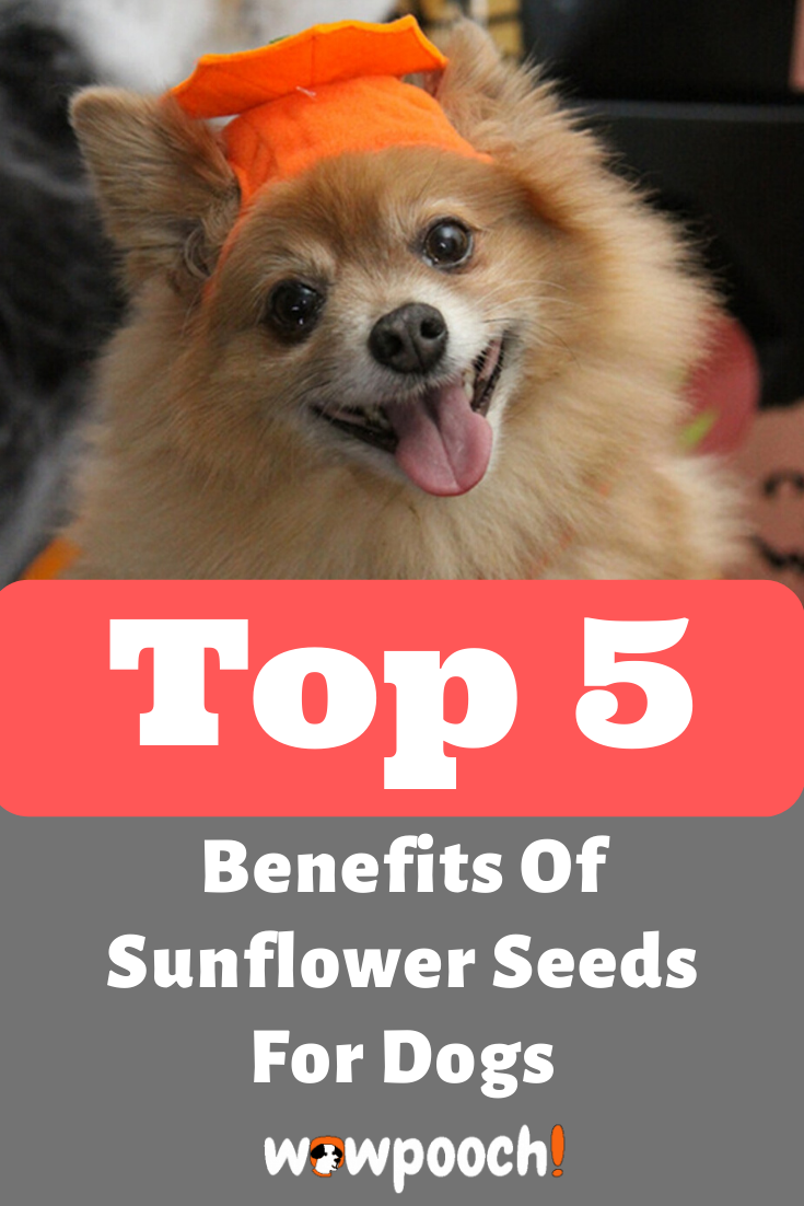 Can Dogs Eat Sunflower Seeds Wowpooch In 2020 Can Dogs Eat Big Dog Little Dog Dogs