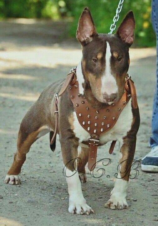 tri color bull terrier bullies bull terrier dogs bull terrier dog