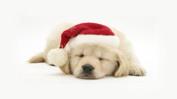 Tierische Weihnacht Christmas 2016 Dogs Hd Wallpapers Sky Hd Wallpaper Pet Christmas Pictures Christmas Dog Christmas Animals