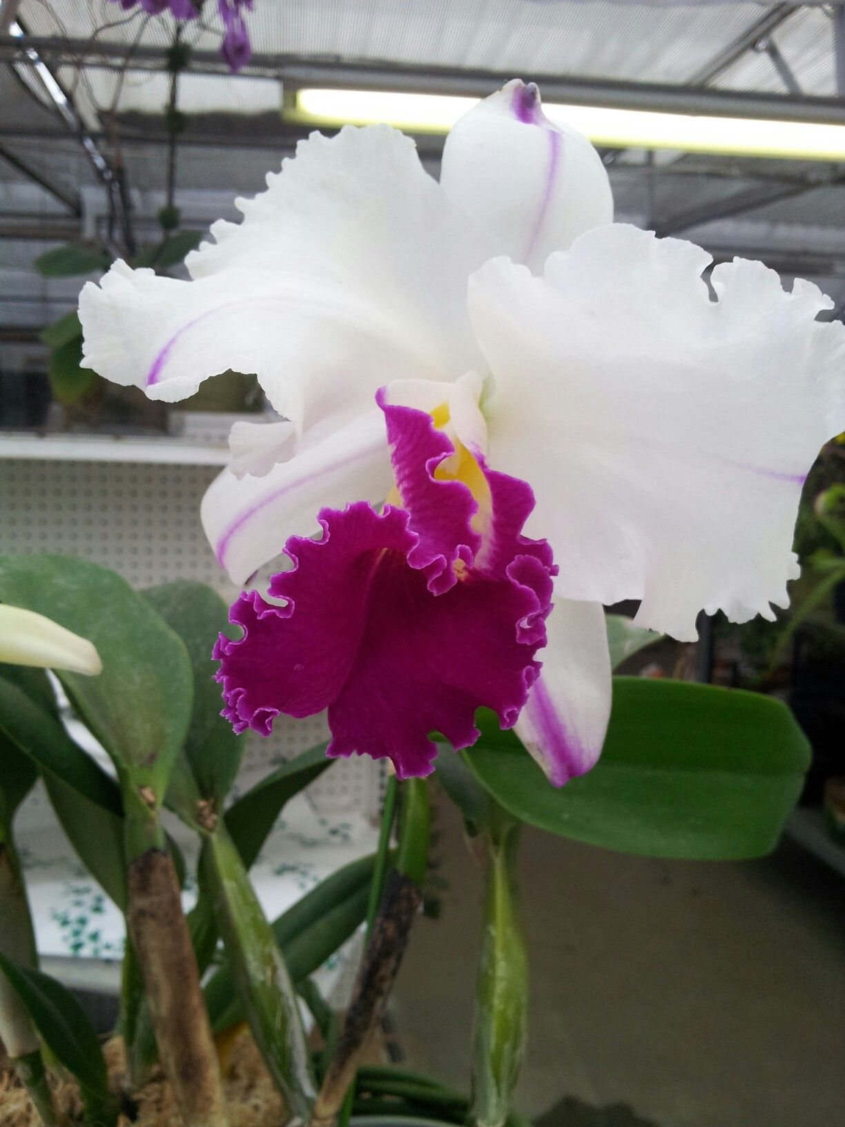 Pin by amanda jung on orchids pinterest orchid flowers and