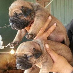 Cute Puppies Boerboel South African Mastiff Zoar Boerboels Kennel Litters South African Mastiff Boerboel Cute Puppies