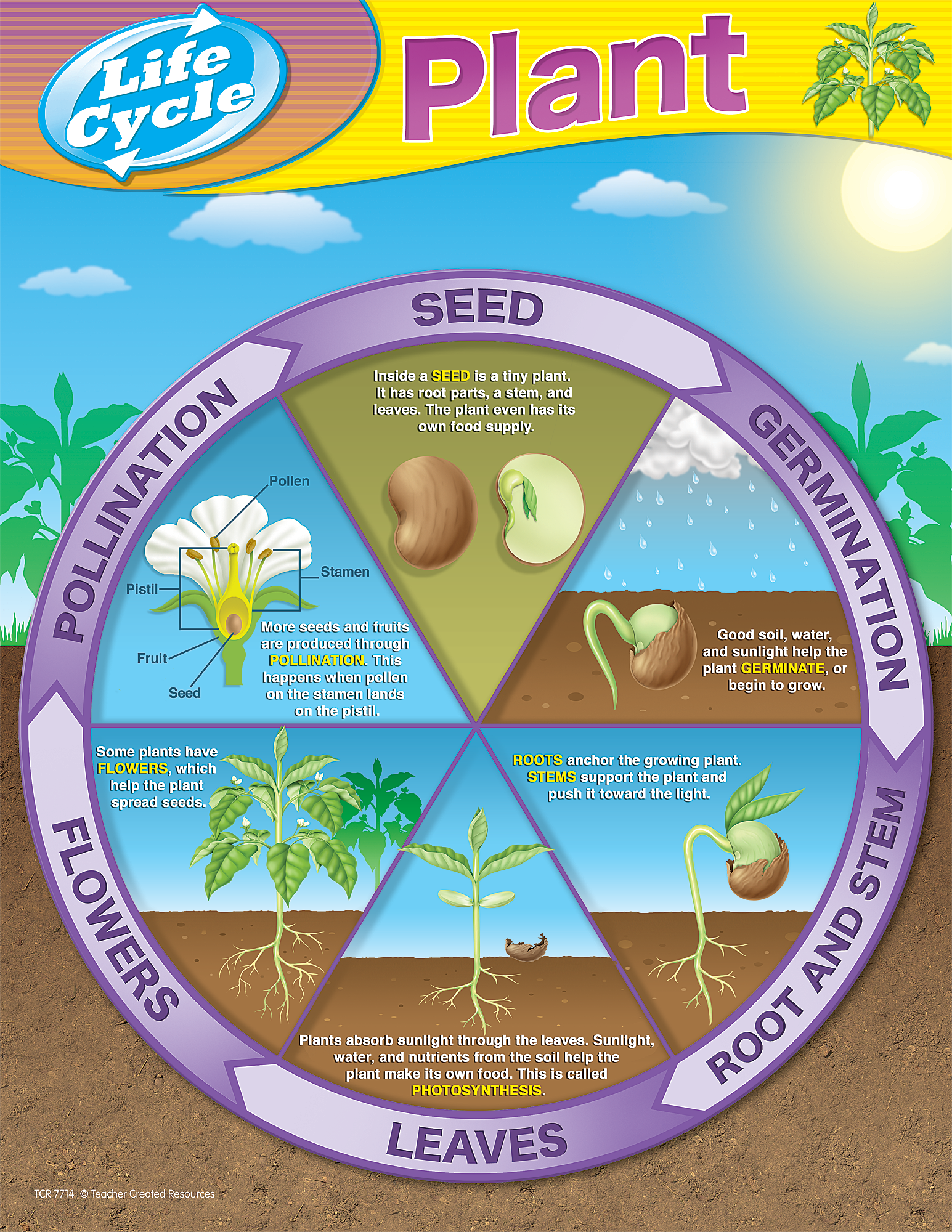 Plant Life Cycles Chart Husband Challenge Pinterest Germination Diagram For Kids Seed In