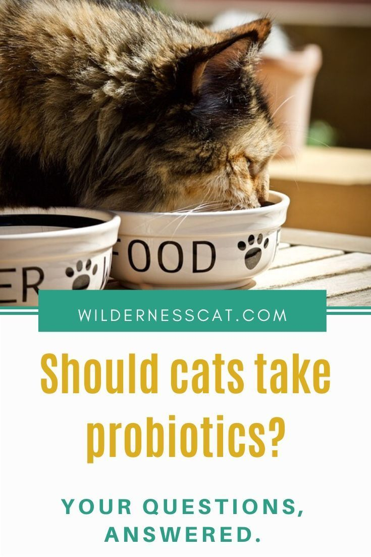 Probiotics for Cats A NonsenseFree Buyer's Guide
